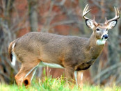 White tailed deer. Photo borrowed from nature.org.