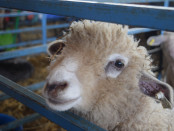 One of the many sheep at the Sheep and Wool Festival on May 6 and 7. Photo by Chaz Brown.
